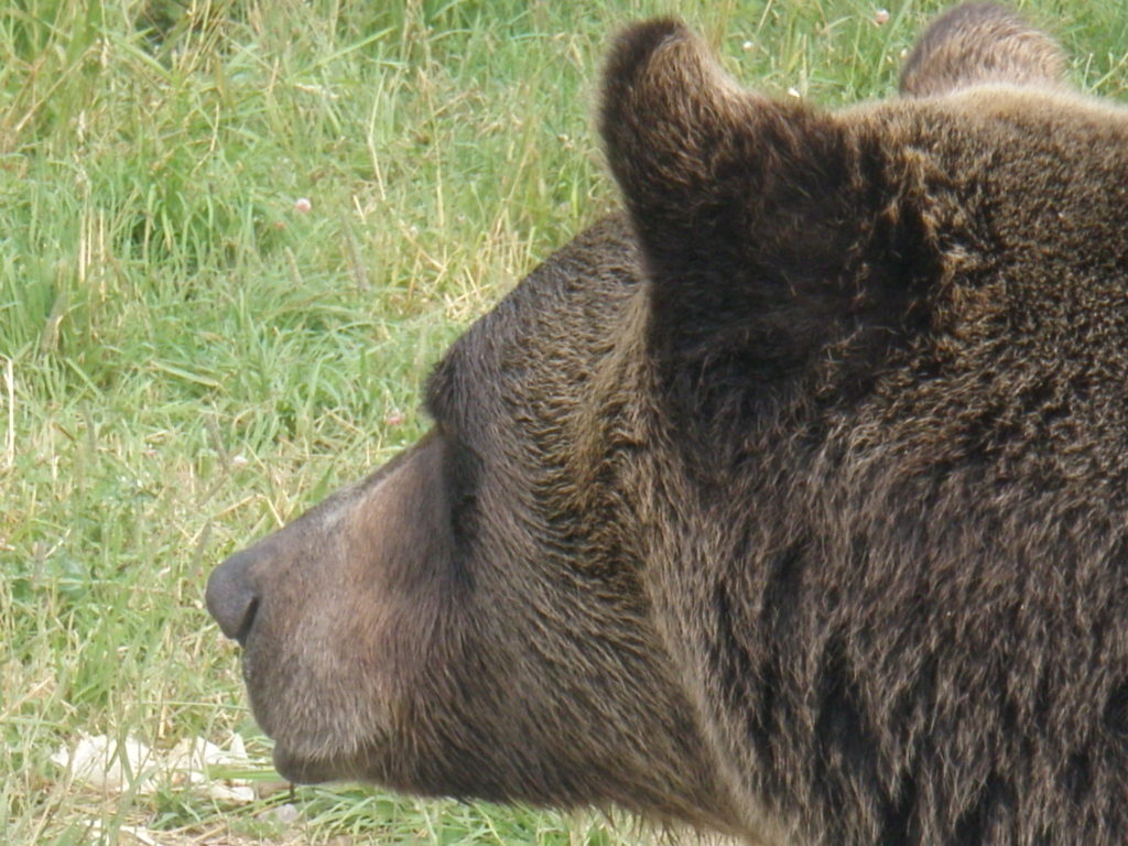 Alert Grizzly Bear Attacks and Wild Animal Attacks and Encounters
