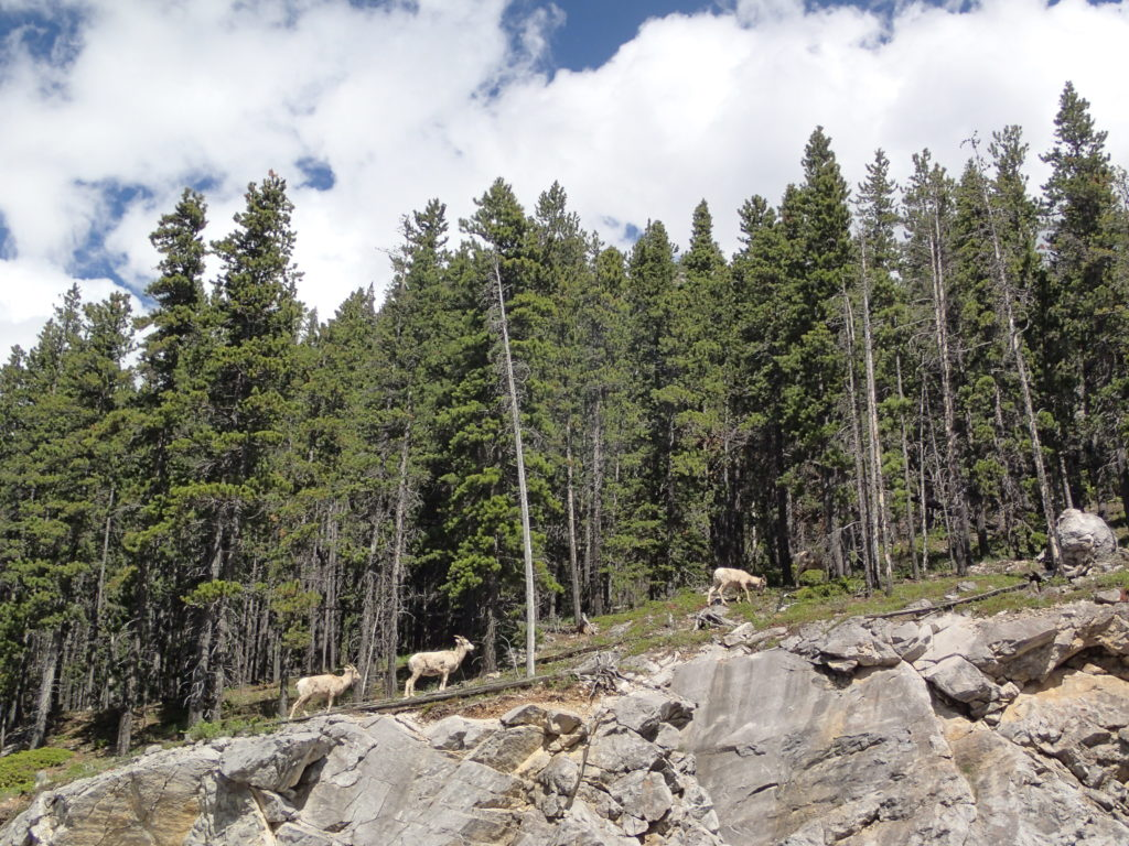Bighorn Sheep Blocking the Trail Wild Animal Attacks