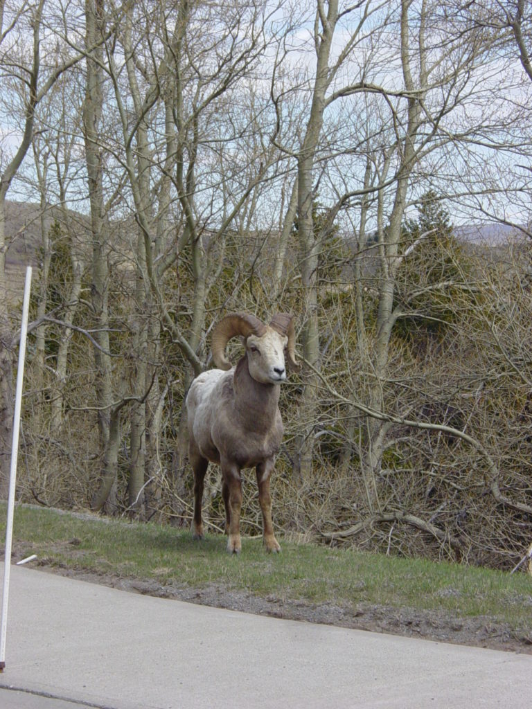 Bighorn Sheep Beside the Road