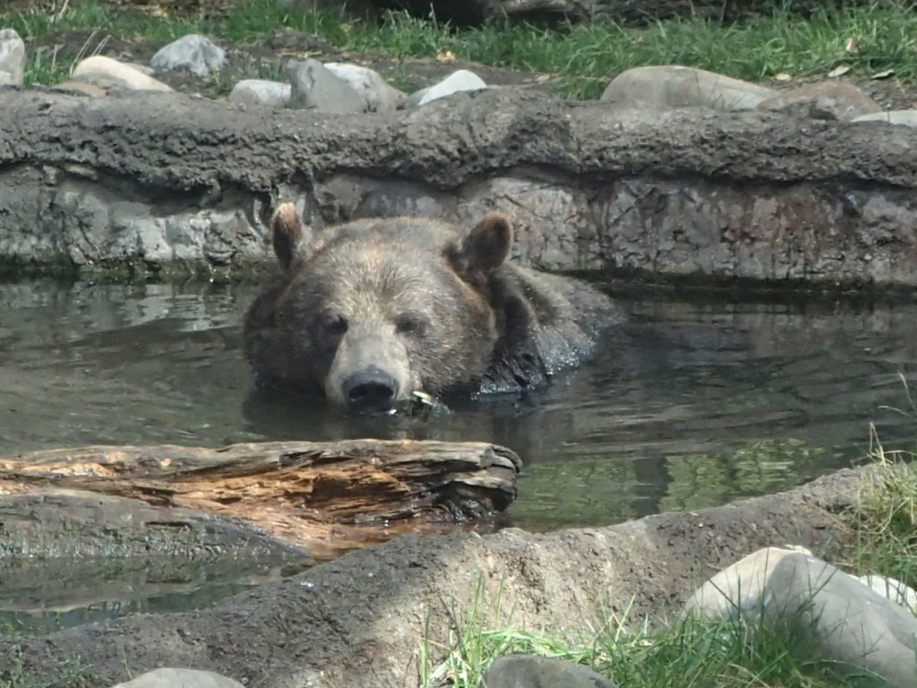Swimming Grizzly Bear Wildlife Attacks and Encounters