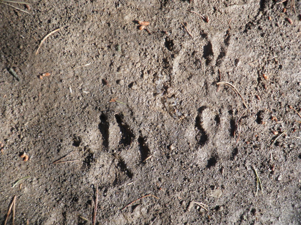 Wolf Tracks in the Mud Wildlife Attacks and Encounters